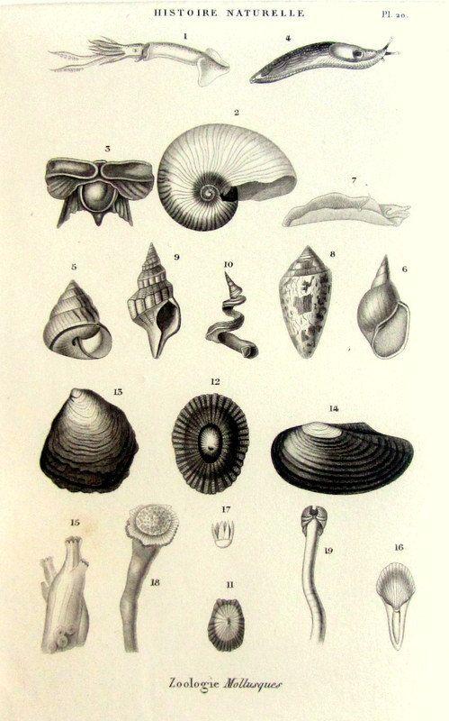 1852 mollusques vintage Georgeos vieux coquillage originale gravure, imprimer, illustration de plaque de mollusque, calmar patelle volute