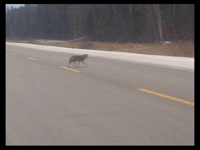 A wolf in northern, Manitoba Canada