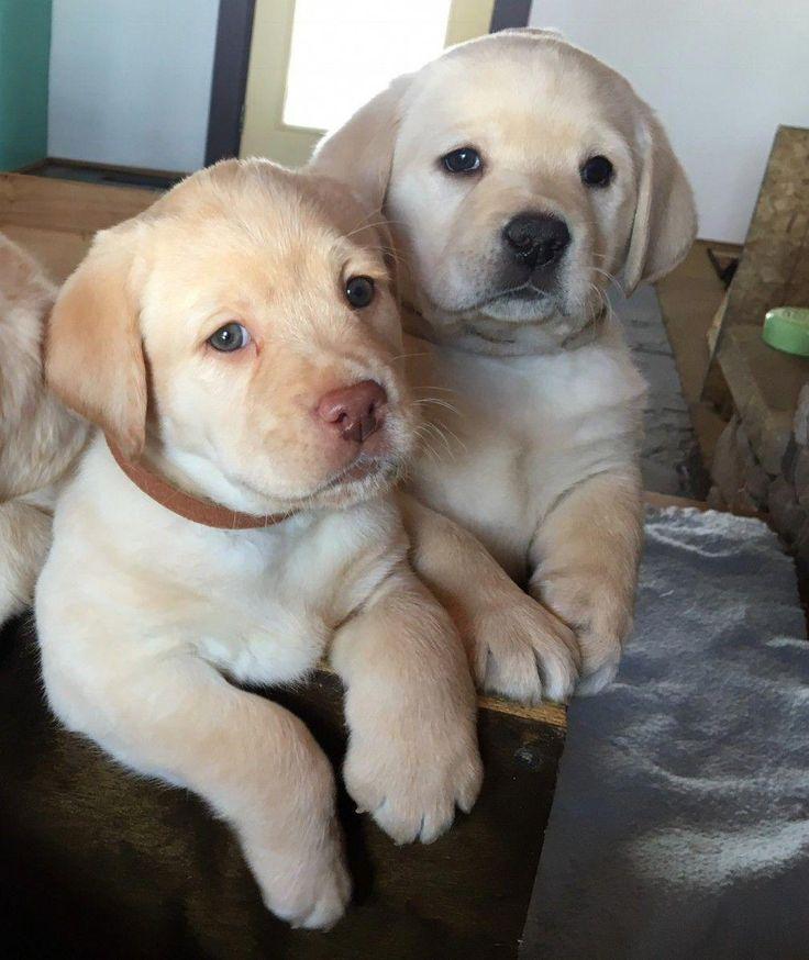 Yellow English Labrador Puppies labradorpuppies Pups