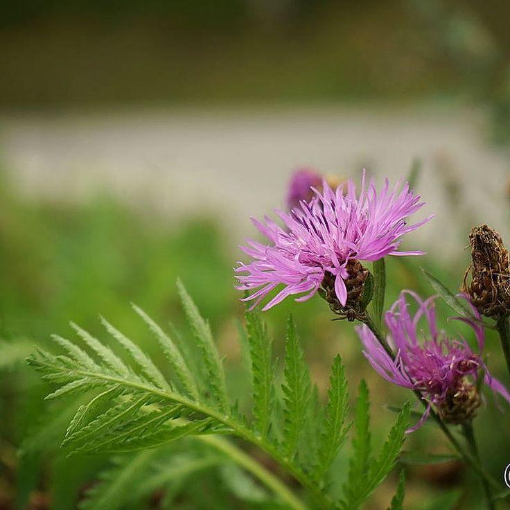 Vid vägrenen skymtar rosablommande blåklint. En väldigt läcker färg.  #rosablåklint #blåklint #cornflower #rosablommor #natur #wexthuset  #trädgårdsprodukter #odlingstillbehör #odla2017 #ekoodling #växthus #inomhusodling #fröer #växtbelysning #trädgårdsredskap #odlingstips #trädgårdsinspiration #frifrakt