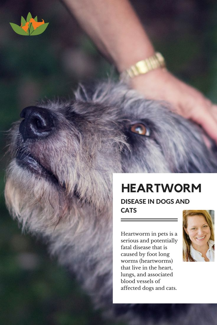 Heart-worm disease in dogs  is a serious and potentially fatal disease that is caused by foot long worms (heart-worms) that live in the heart, lungs, and associated blood vessels of affected dogs. Find cause, symptoms and treatment for heart-worms in dogs.
