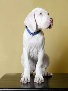 White Great Dane. Anyone who has a deaf white dane knows how sweet they are.