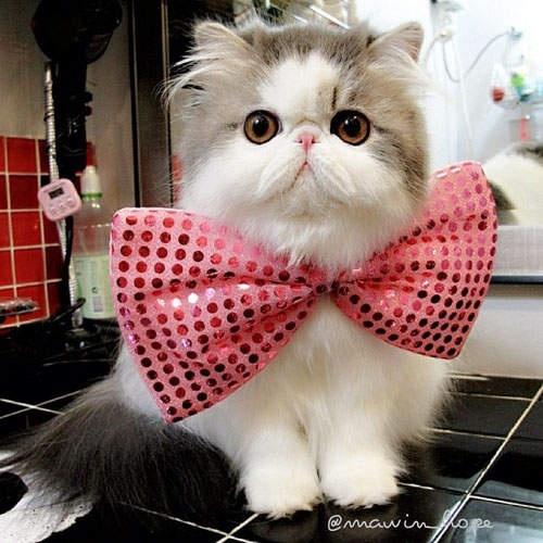 Cat persian cute