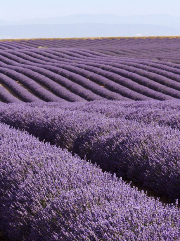 Varieties of Lavender for the Garden:  From DIYNetwork.com from DIYnetwork.com