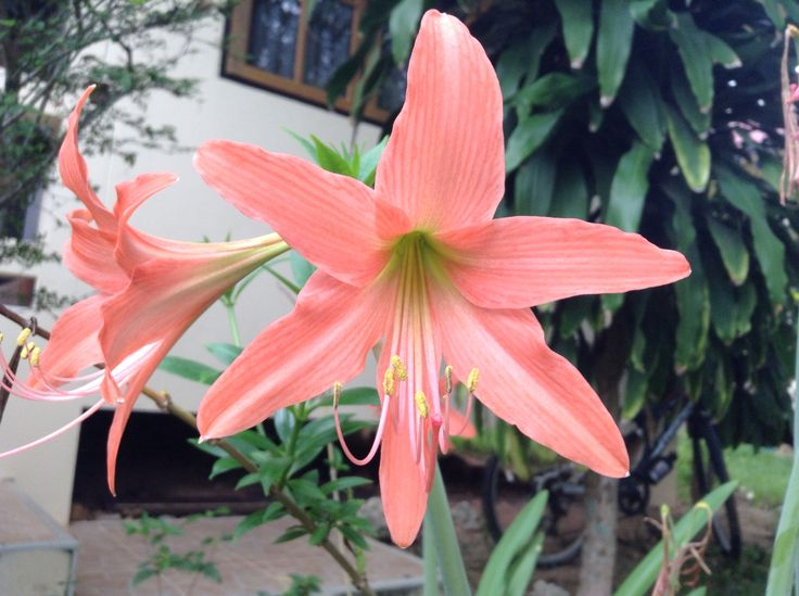 #samui #thailand #flower #самуи #таиланд #цветы