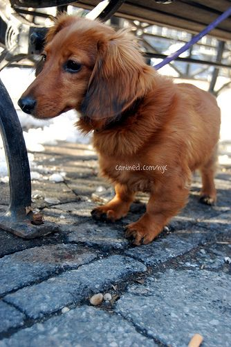 4 month old red long haired dachshund puppy downtown new york city dog walker pictures 9 by canined.com dog pictures, via Flickr