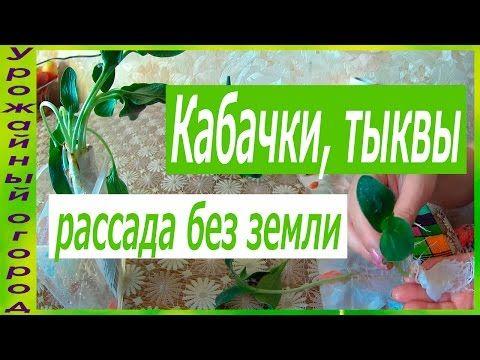 РАССАДА КАБАЧКА И ТЫКВЫ БЕЗ ЗЕМЛИ!2 ЛУЧШИХ СОРТА КАБАЧКА! - YouTube