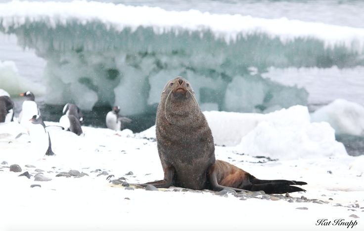 A fur seal in the snow in Antarctica