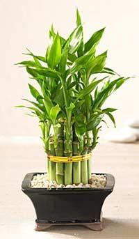 Растения для мест со слабым освещением. Недавно я разговаривал с одним садоводом, который мне рассказал, как он решил провести эксперимент с этим растением и выращивал его в совершенно темной спальне. Так вот два года спустя растение все еще преуспевало и совсем не собиралось увядать. Так что, пожалуй, это самое лучшее растение, не требующее освещения, в мире.. Источник: http://indasad.ru/osveshchenie/661-rasteniya-dlya-mest-so-slabym-osveshcheniem