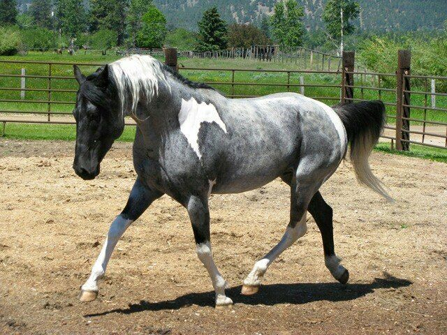 SW Future Foal - Mangalarga Marchador