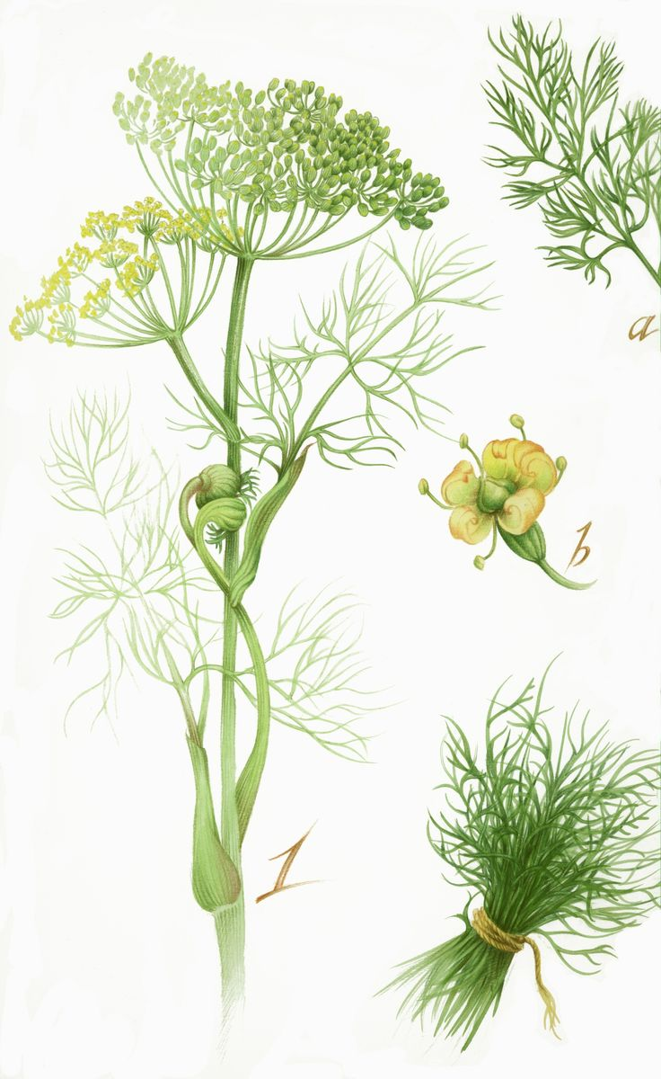 Illustration planche botanique aneth-Florence Gendre