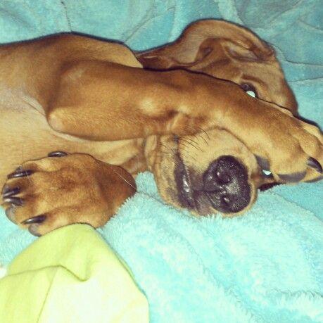 Ramon despertando , vergüenza , perro dachshund  hermoso de mi vida