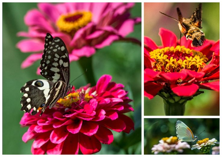 #butterlflies on the #zinnias in the #garden at the Adanna Fashion Show