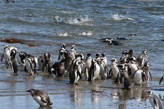 Pinguinos en la playa de  Isla Magdalena