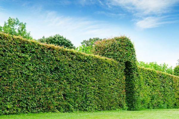 Conoce las más recomendadas plantas para crear cercos verdes, y dale intimidad a tus espacios exteriores.