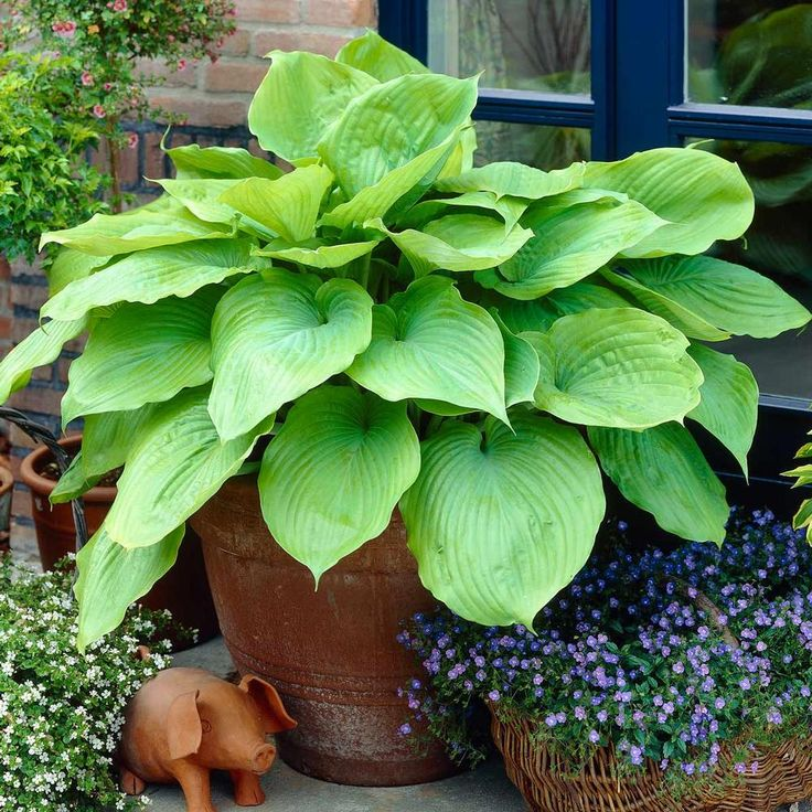 Hosta 'Sum & Substance', 30in tall, zone~3, (large Hosta, mature size 30in tall x 5ft wide)