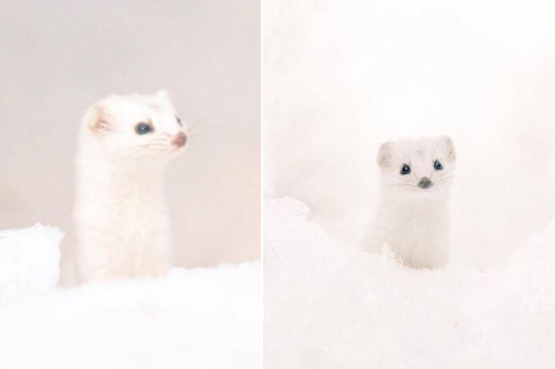Cute animal klaxon.Okay, it's a weasel but it's so soft and sweet looking we reckon it deserves its own Disney movie. *Books trip to Hokkaido immediately.*   Read more: http://metro.co.uk/2015/04/02/these-super-cute-animals-can-only-be-found-on-one-of-japans-northernmost-most-unspoiled-islands-5132477/#ixzz4b8RQbOA1