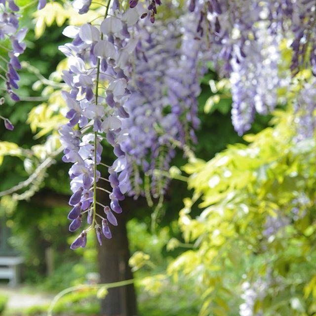 Happy Friday dear followers ! Wisteria, from Jettes garden #wisteria #jettesgarden #have #gardenvisits #garden #gardening #gardendesign #gardendecor #jettefrölich #jettefroelich #danishdesign