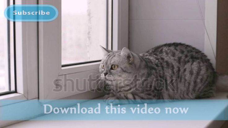 Scottish cat at home. close-up | Stock Footage