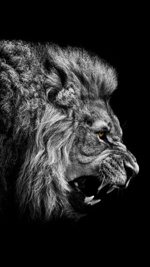 Angry Lion - The iPhone Wallpapers