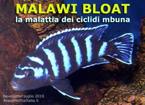 Un articolo dedicato alla malattia dei ciclidi del malawi, la cosiddetta Malawi Bloat  In questo articolo viene spiegata proprio questa tipologia e possibili soluzioni di trattamento