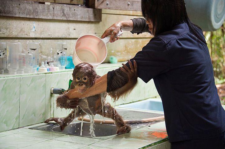 One-year old Orangutan gets a wash