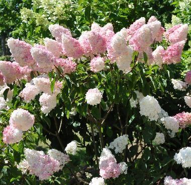hydrangea paniculata vanille fraise, pluimhortensia