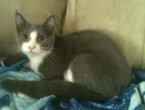 Sara~Lap Cat! is an adoptable Domestic Short Hair - Gray And White Cat in Newburgh, IN. 1/12/12 - Meet Sara, a super cute 8 month old spayed female. She is very, very LOVING and AFFECTIONATE!! She lov...