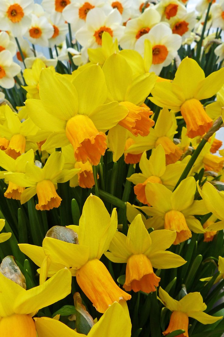 103 best daffodils crocus u0026 narcissus in my garden images on