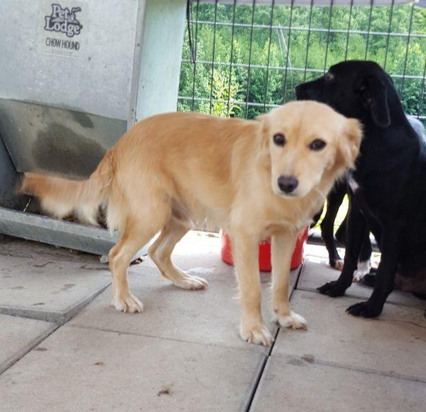 Tanner Needs A Home Grrand Golden Retriever Rescue Adoption Pets 3 Dog Help