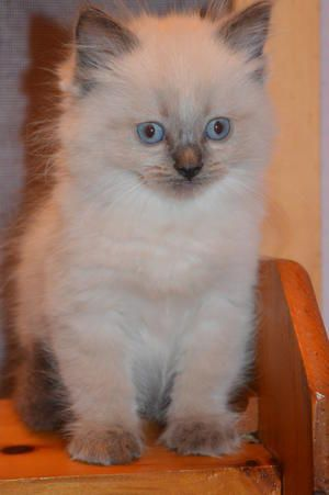 Ragdoll Kittens Available For Sale Ontario - Lion Royale Ragdolls