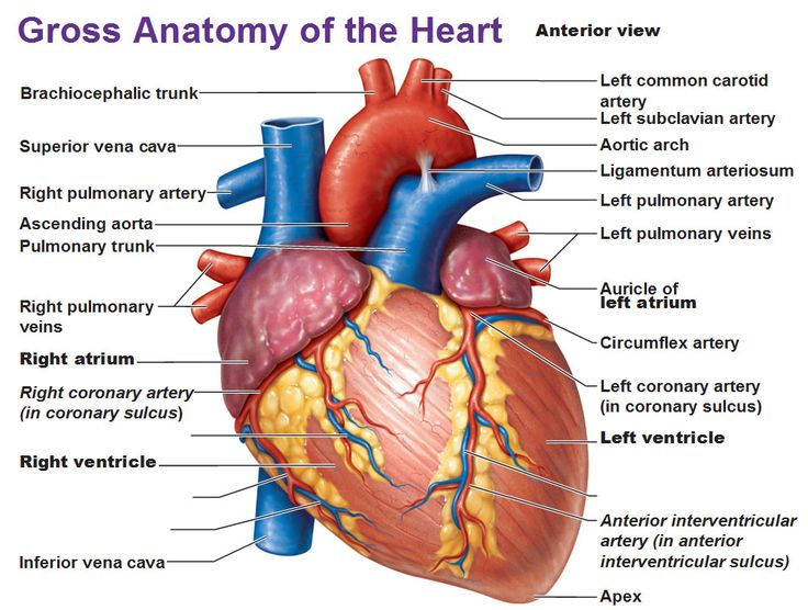 Gross Anatomy: Anterior view of the human heart with labels. vessels transporting O2 rich blood are red, those transporting O2 poor blood are blue.