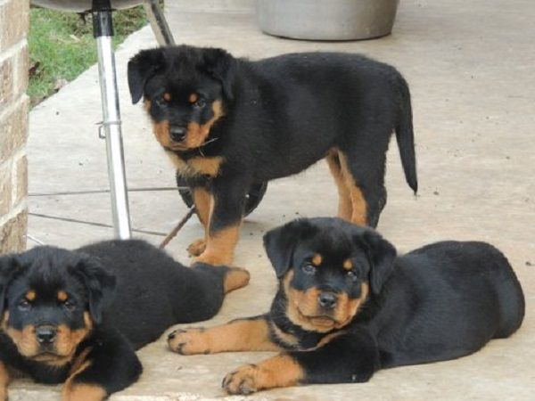 Rottweiler puppies for adoption in wv