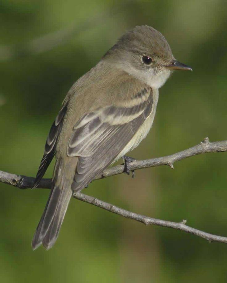 Willow Flycatcher   Audubon Field Guide
