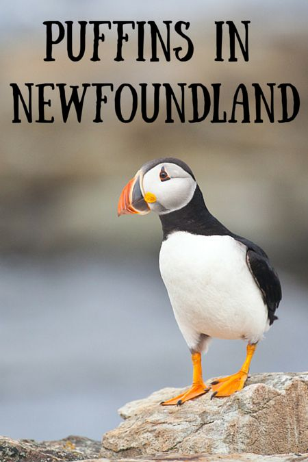 Where to find puffins in Newfoundland, Canada.