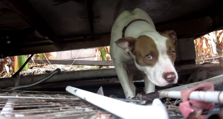 video-rescate-perro-pit-bull-eldad-hagar
