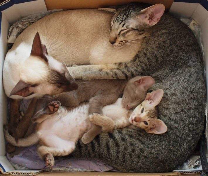 Abyssinian Family***One of my favorite cat breeds. Box full 'O' loves