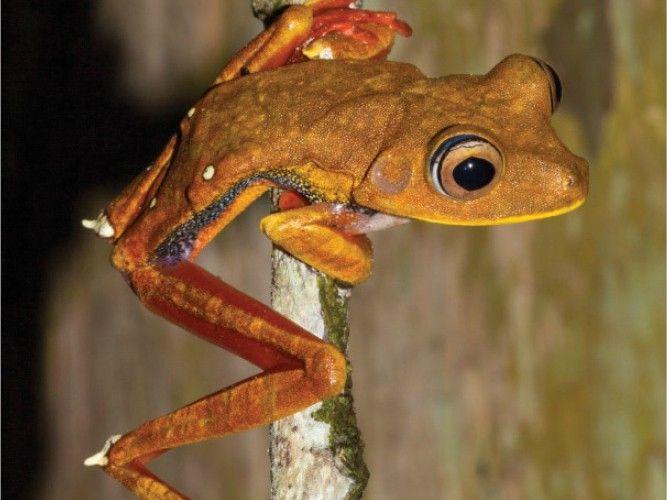 Estudos identificam ocorrência de 43 novas espécies de anfíbios e répteis no Amapá