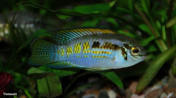 17 Best Images About Cichlids On Pinterest Cichlids