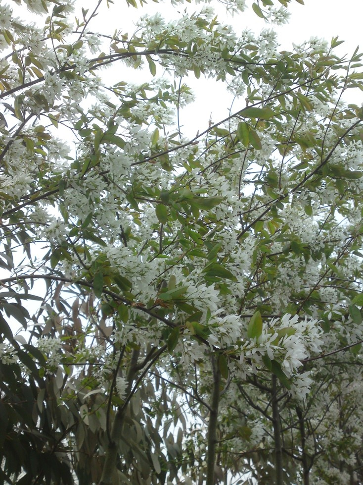 Amelanchier laevis 'Ballerina' (Krenteboompje), probleemloze boom voor in kleine tuin, oranjerode herfstkleur, grote sierwaarde, trekt vogels aan, ideaal in kleine tuin, ronde kroon (tot 6m)