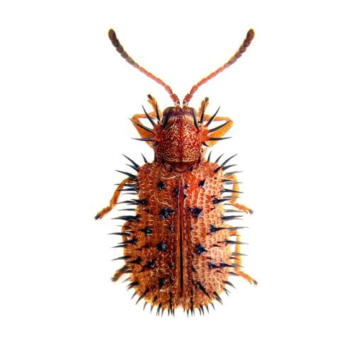 Beetle Species GIF