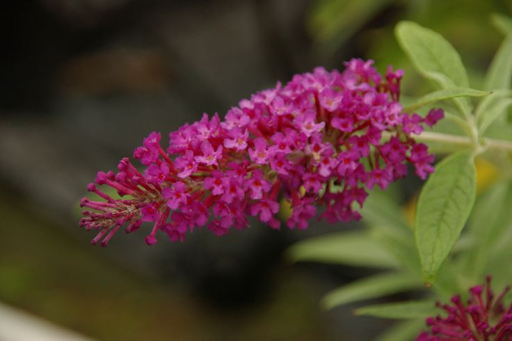 """Magenta Buzz is a remarkable variety of Butterfly Bush that not only possess' #flowers as large as a full size bush, but does so in a dwarf size. Each long, 6"""" spike displays a cluster of delicate #magenta blossoms. The amazing floral spikes appear on long branches, reaching up from the mounding #shrub to cascade out for an elegant, arching appearance. The prolific flowers begin in early summer and continue on into early fall for a long-lasting display of dramatic color"""