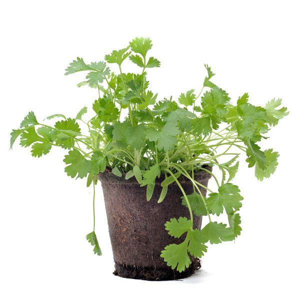 coriandre pot mon beau jardin parsley cilantro et herbs. Black Bedroom Furniture Sets. Home Design Ideas