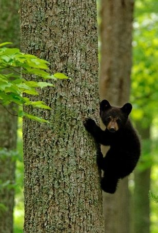 Don't disturb my concentration: Cute black bear cub climbs a tree in Tennessee's Great Smoky Mountains