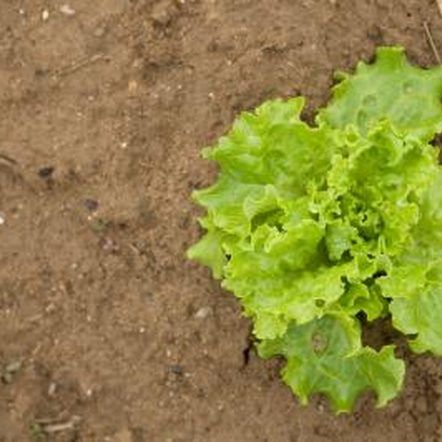 How to pick loose leaf lettuce garden pinterest garden lettuce and leaves for How to pick lettuce from garden