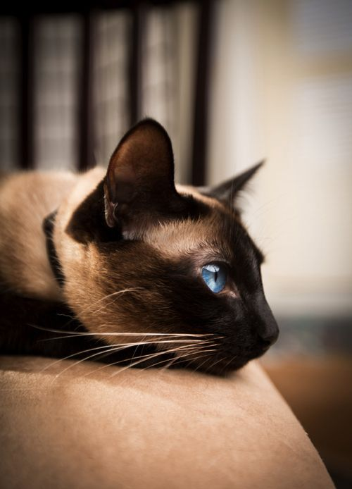 The wonderfully regal and intelligent Siamese cat.  >^..^