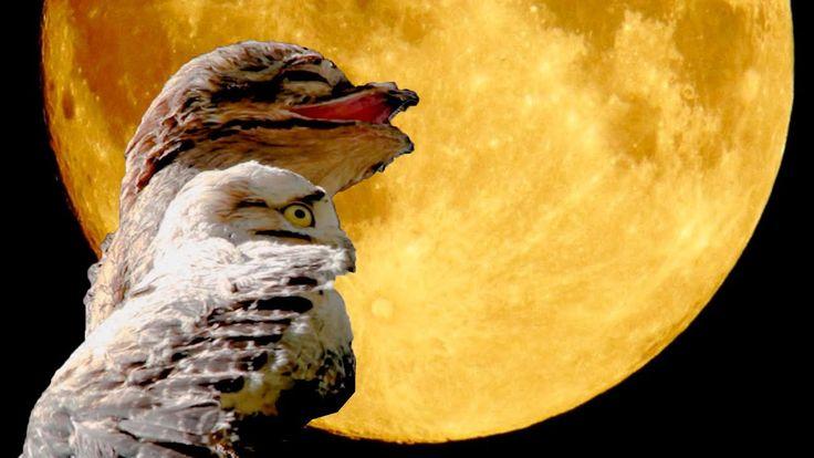 mãe da luae-da-Lua ( Nyctibius griseus ) O mestre da camuflagem - Ave que parece um galho seco! #urutau #nictibius #nictibiusgriseus #mãe-da-lua  #maedalua  #potoo  #potoocomun #birdsofinstagram  #birdwatching #birding #bird #vidaselvagem #wildlife #wilderness  #wild #brasil #brazil #animals #naturaleza #natureza #naturelovers