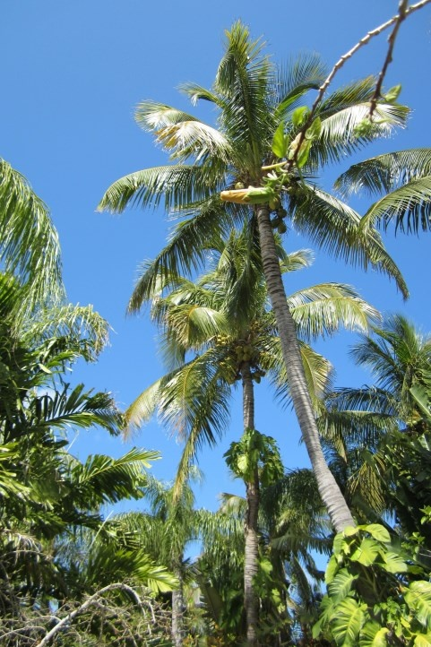 1000 Images About Palms On Pinterest Madagascar Sago