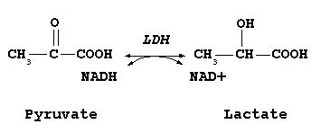 Lactate dehydrogenase (LDH or LD) is an enzyme (EC 1.1.1.27) present in a wide variety of organisms, including plants and animals. It converts pyruvate, the final product of glycolysis, to lactate when oxygen is absent or in short supply, and it performs the reverse reaction during the Cori cycle in the liver.