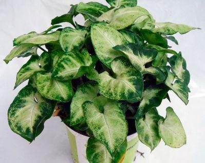 Часто встречающиеся в домашних условиях виды цветка сингониум и их фото, как осуществляется уход за этим растением и его размножение